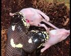 Vídeo de cobra de duas cabeças comendo rato se torna viral no TikTok