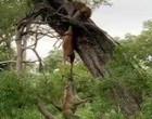 Hienas lutam com leopardo por carcaça; Veja vídeo