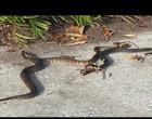 Cobra que se alimentava de sapo é devorada por outra cobra; Vídeo