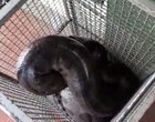 Sucuri de 4 metros devora cachorro e é encontrada em área urbana