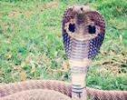 Cobra Naja assusta pessoas ao sair de dentro de moto na Índia; Vídeo