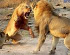 Turista presencia luta entre leões em parque na África do Sul; assista