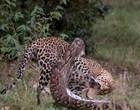 Vídeo mostra luta mortal entre leopardo e píton dentro de reserva