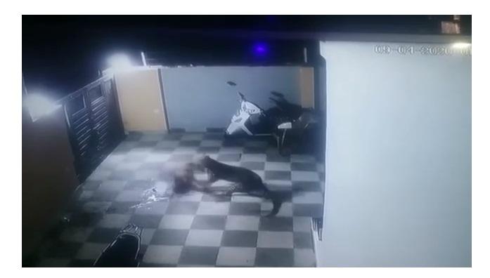 Onça-pintada pula muro de casa e ataca cachorro com toda fúria; vídeo - Imagem 3