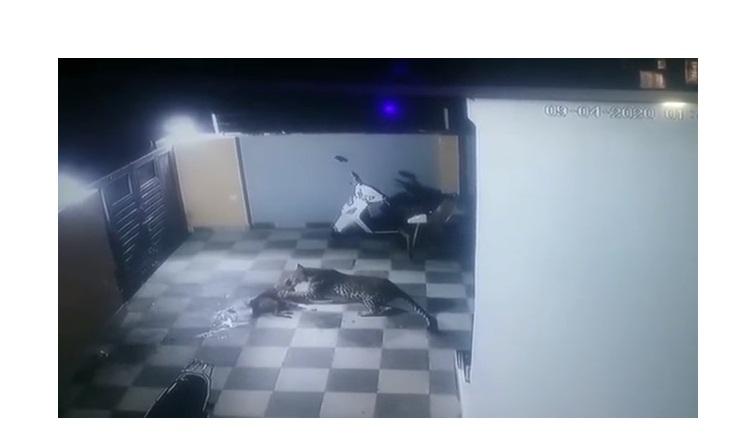 Onça-pintada pula muro de casa e ataca cachorro com toda fúria; vídeo - Imagem 2
