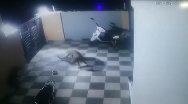 Onça-pintada pula muro de casa e ataca cachorro com toda fúria; vídeo - Imagem 1