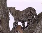 Onça pintada sobe em árvore carregando cervo de 50 quilos; Vídeo