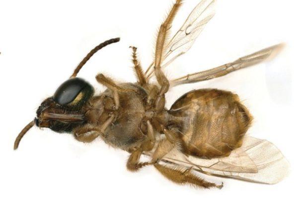 Cientistas descobrem abelhas metade macho metade fêmea - Imagem 1