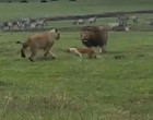 Vídeo incrível mostra cachorro atacando e intimidando leões selvagens