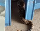 Cascavel é comido por outra cobra no Texas