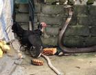Galinha luta com cobra para defender seus pintinhos; Veja Vídeo