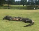 Batalha de gigantes! vídeo mostra luta de crocodilos em campo de golfe