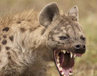 Vídeo mostra luta sangrenta por comida entre hienas e cães selvagens