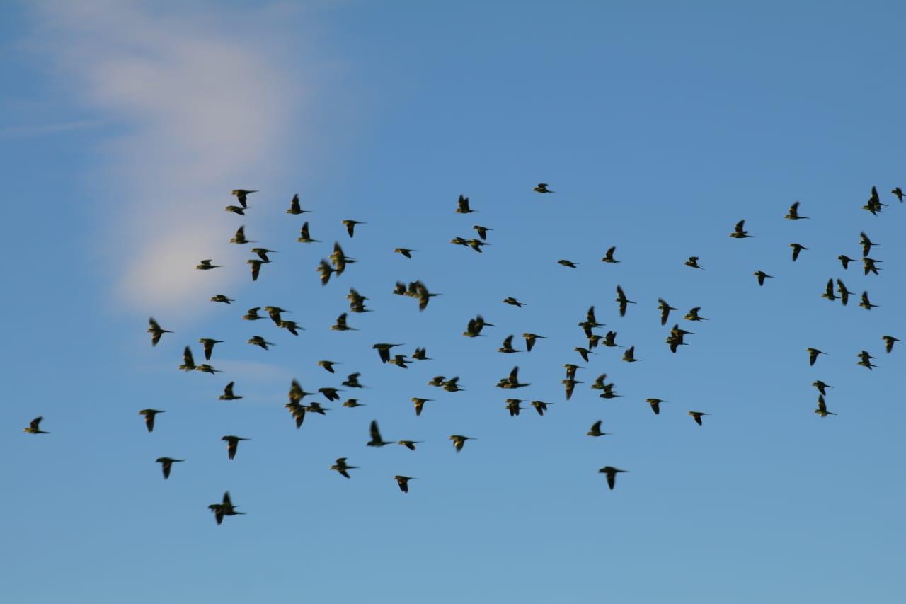 Revoada das andorinhas faz festa no céu de Teresina