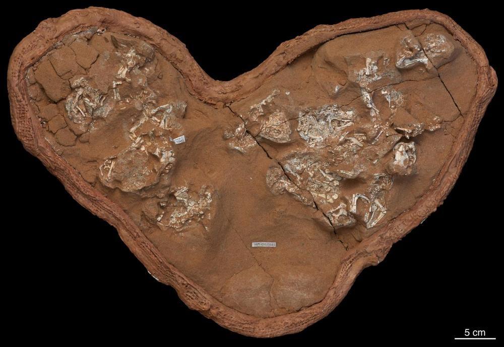 Os bebês fósseis de Protoceratops provavelmente morreram dentro de ovos de cascas moles.Fonte: AMNH/M. Ellison