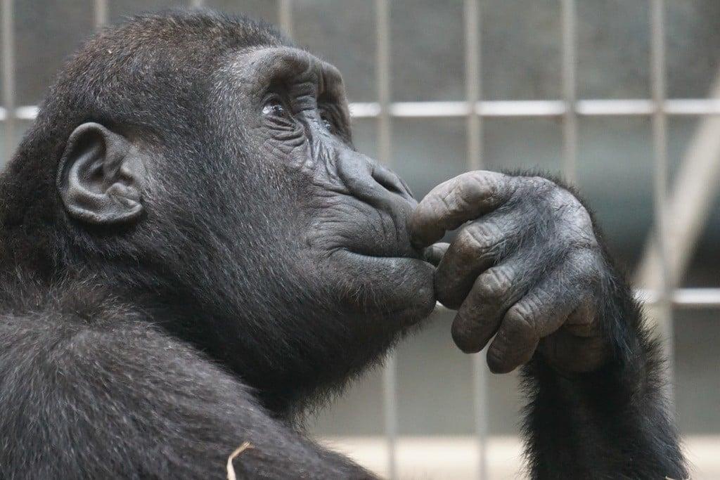 Humanos são capazes de inferir informações comportamentais de vocalizações de chimpanzés (Foto: Creative commons)
