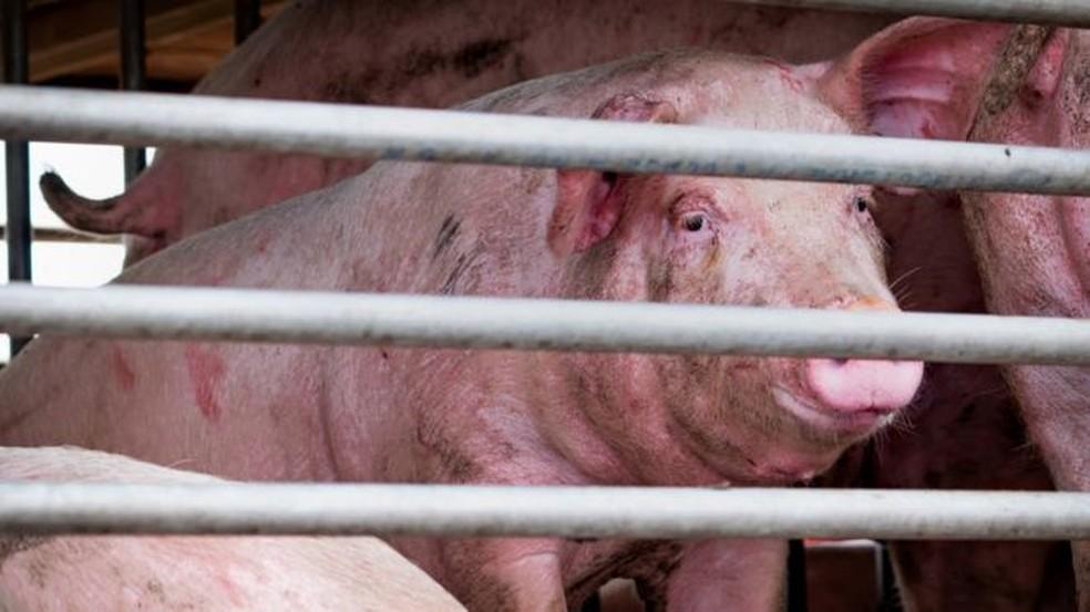 Cientistas descobriram evidências de infecção recente em pessoas que trabalhavam na indústria suína na China — Foto: Getty Images.BBC