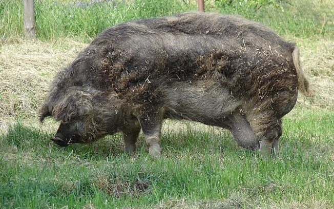 Fazendeiro de 71 anos desmaia e é devorado por 12 porcos na Polônia - Imagem 1