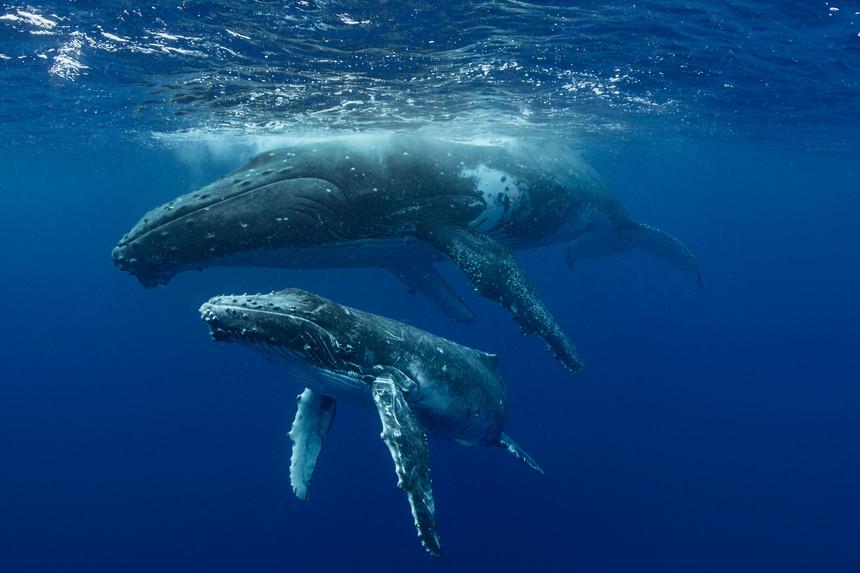 baleias nadam no oceano / expresso