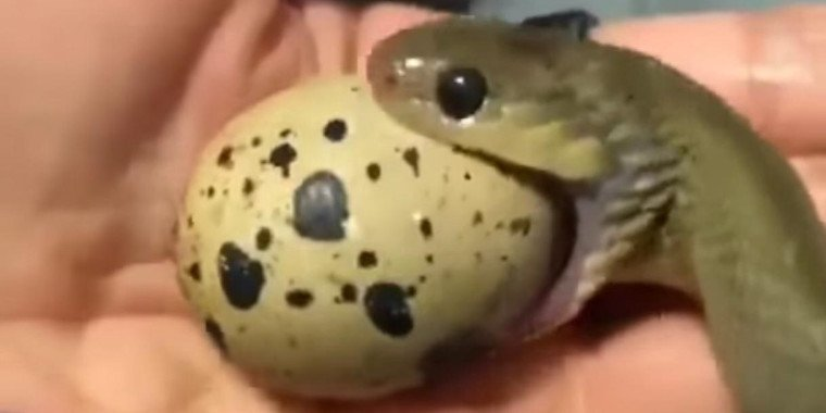 Vídeo impressionante mostra cobra engolindo um ovo sem quebrar; Veja