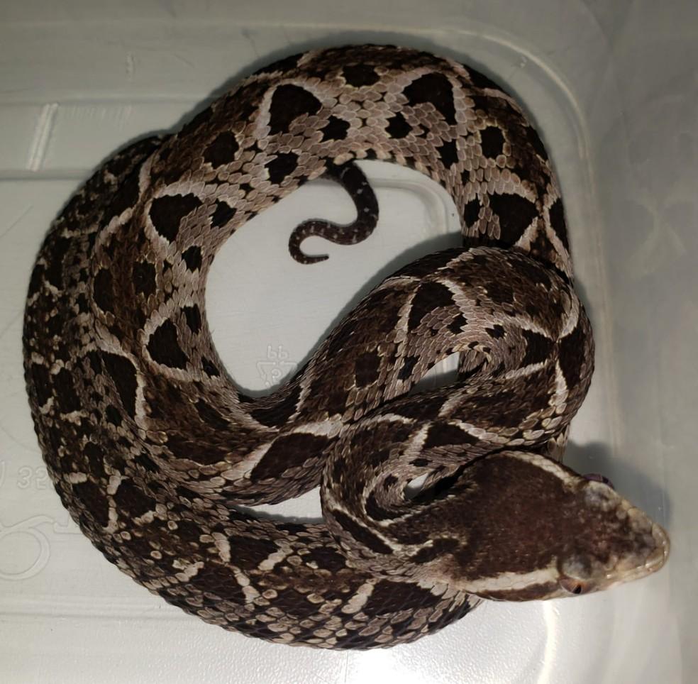 Dono entregou duas cobras voluntariamente ao Ibama no DF — Foto: Ibama/Divulgação