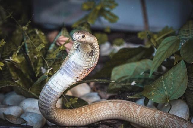 Cobra que picou estudante está no Zoológico de Brasília Foto: Ivan Mattos
