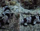 """Cientistas registram quatro espécies de tubarões que """"andam""""; fotos"""