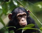 Documentários exploram produções do dia do Chimpanzés e dia da Cobra