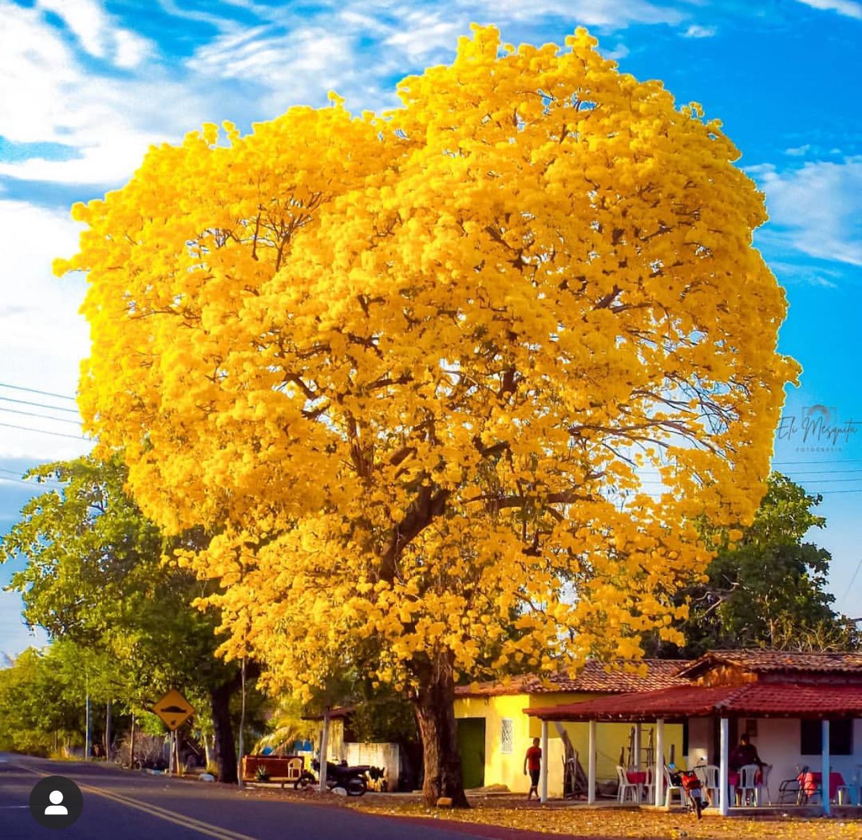 Ipê amarelo fotografado na cidade de Batalha, no Piauí - Foto: Eli Mesquita