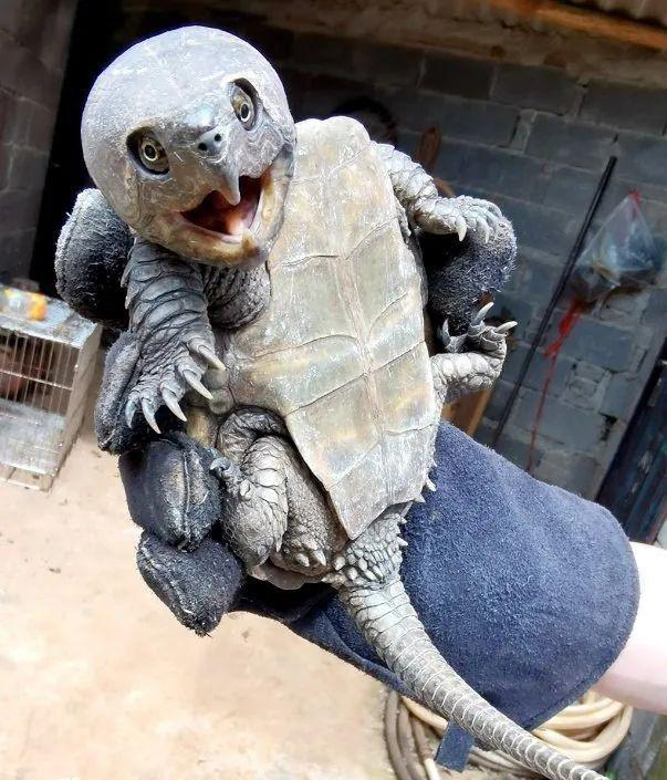 Chinês encontra tartaruga com cauda de crocodilo e bico de papagaio
