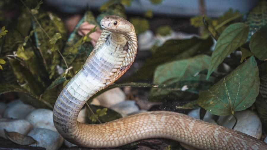 Cobra Naja picou estudante de veterinária no DF - Foto: Divulgação