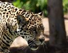 Leopardo invade casa de família e leva cão para ser devorado; assista!