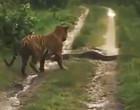Flagrante que mostra encontro de tigre e píton viraliza na web; vídeo!