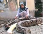 Jovem da Indonésia vive em criatório com enormes pítons; Veja vídeos