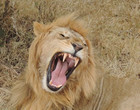 Leão invade território e é atacado  ferozmente por alcatéia; vídeo!