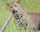 Leopardo destemido parte para cima e retalha píton; Video