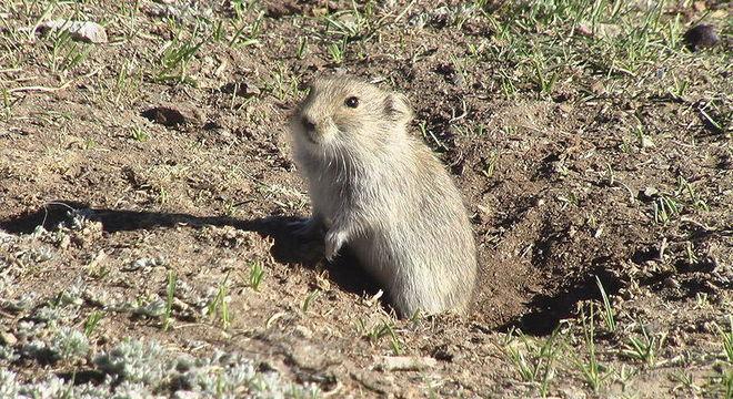 Marmota é um típico roedor - Foto: Commons