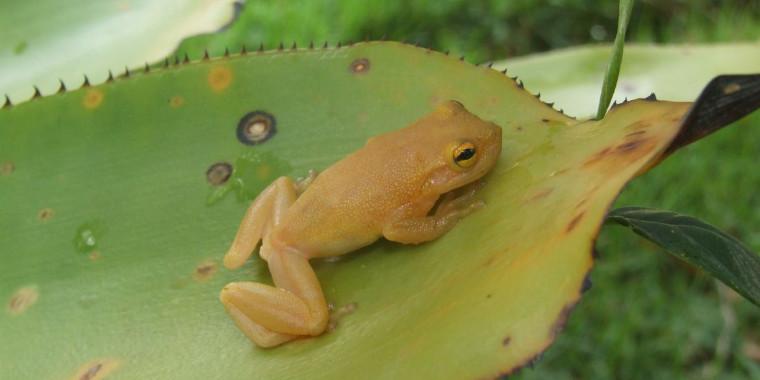 Cientistas descobrem nova espécie de perereca-de-bromélia na Bahia
