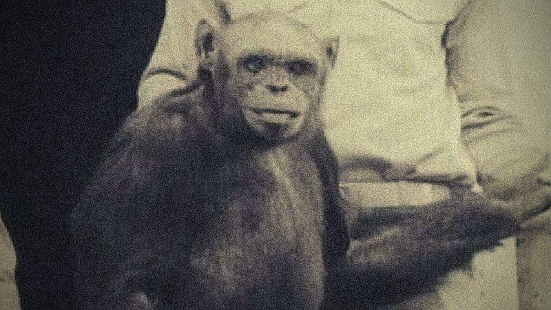Oliver, o chimpanzé - Wikimedia Commons