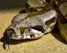Cobra de 3 metros é capturada após engolir cachorro na Paraíba; vídeo