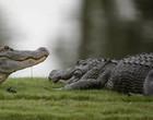 """Turista flagra bagres """"caminhando"""" sobre jacarés na Flórida; Vídeo"""