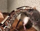 Homem é preso ao usar cobras para atacar animais em vídeos na internet