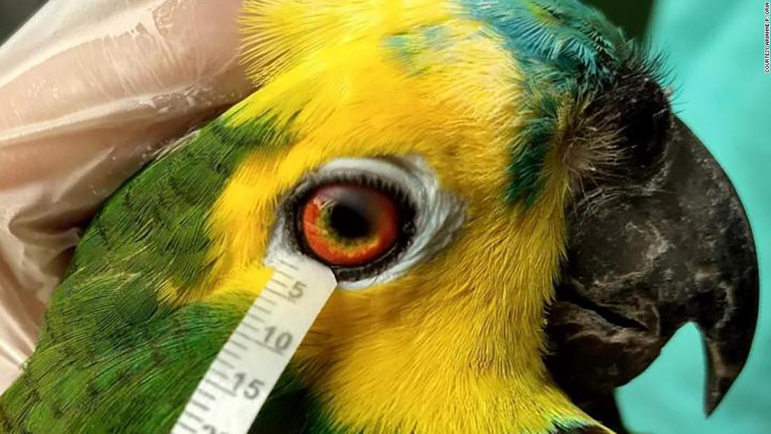 Pesquisador coleta lágrima de papagaio (foto: divulgação)