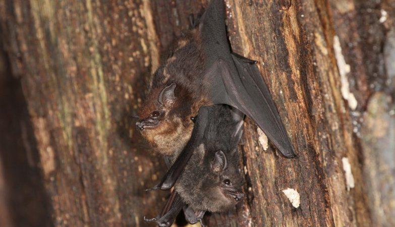 Cria de morcego agarrada na barriga da mãe (Getty)