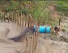 Confira o vídeo de uma sucuri gigante sendo capturada em armadilha