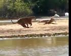 Pescadores flagram batalha entre onça-pintada e jacaré em rio; assista