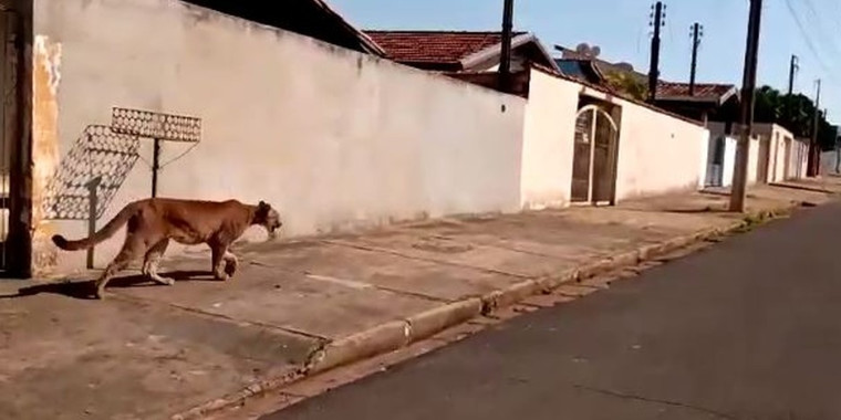 Onça é flagrada passeando em São Paulo e assusta moradores; vídeo
