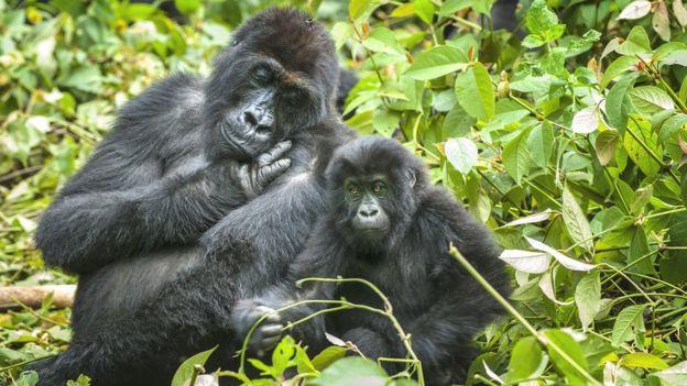 Gorilas enfrentam a ameaça da caça ilegal (Imagem: Getty Images)