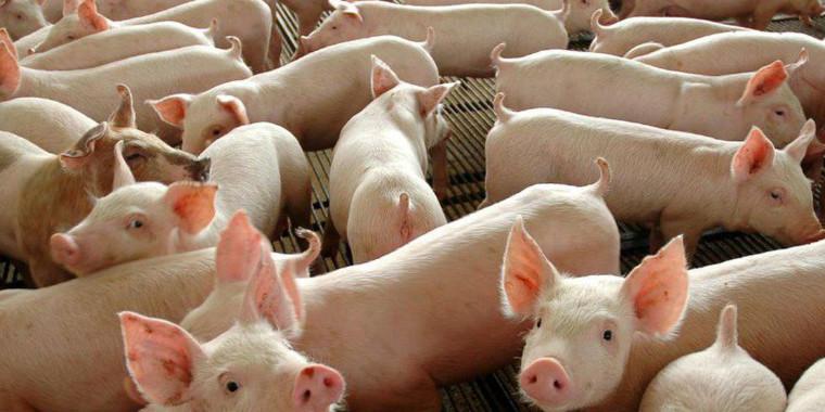 Abate de frangos cai e o de suínos cresce no país, diz IBGE