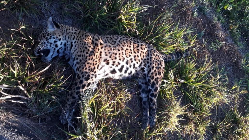 Onça-pintada morta no Pantanal